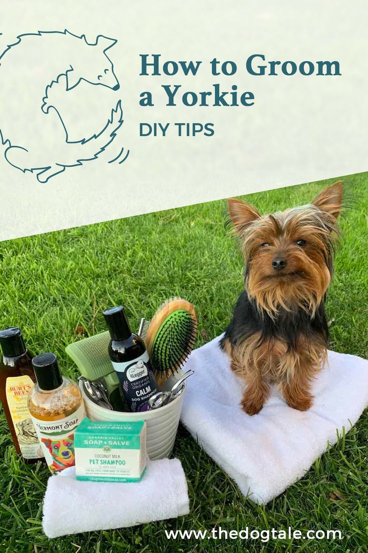 How to groom a yorkie diy grooming tips in 2020 dog
