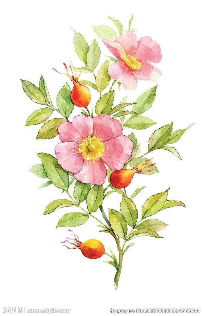 淡水彩花卉花朵高清