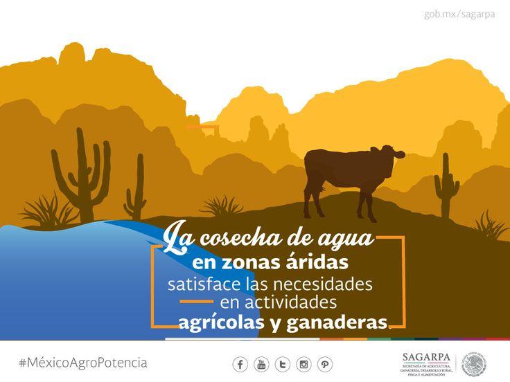 La cosecha de agua en zonas áridas satisface las necesidades en las actividades agrícolas y ganaderas.SAGARPA SAGARPAMX #MéxicoSiembraÉxito
