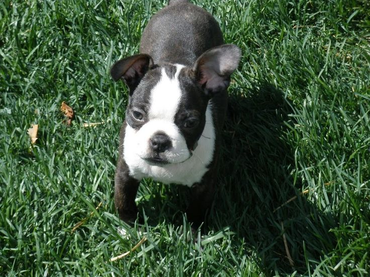 teacup boston terrier size - Google Search