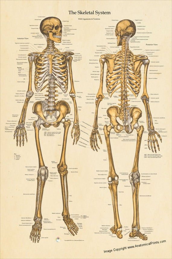 human skeletal anatomy poster anterior