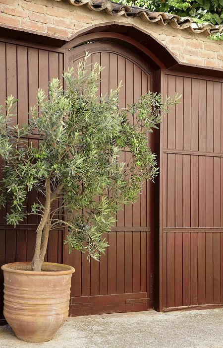 Arbequina Olive Tree for Sale