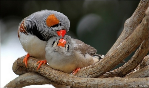 Zebra Finches...I used to have these as pets. They were so fun to watch :)