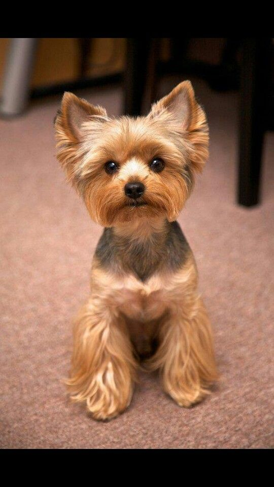 50 Inspired Cute Short Yorkie Haircuts Unique Kitchen Design