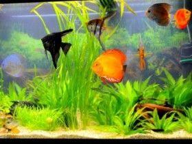 Los 20 mejores peces de agua dulce para tu acuario.