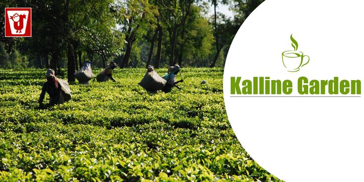 #KallineTeaGarden situated on the foothills of Borail range of hills. This tea estate is placed at a 4kms. Aerial distance from Jatinga bird sanctuary. The estate can be easily approached by road, train or air. NH44 passes about 2 kms from the garden. No #ChildLabor has been employed on the estate. This tea estate produces one of the finest #CacharTeas from this region. Kalline Tea garden has achived highest prices of Cachar Teas in #KolkataTeaAuction from time to time.