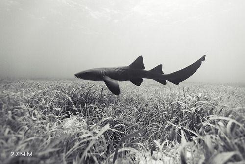 NURSE SHARK by Underwater Photography (www.27mm.net) on Flickr.