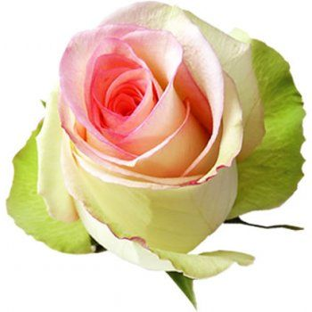 Sylvie - the beauty of innocence - this variety unfolds to one of the largest roses ever seen !