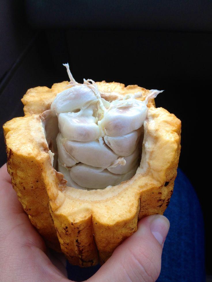 cocoa bean plant from Trinidad & Tobago Missions Trip