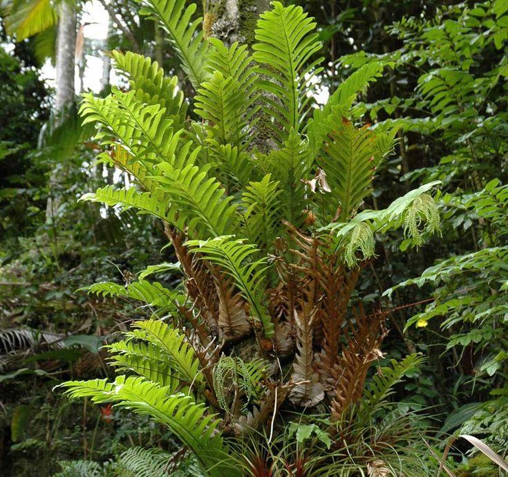 491891afb64c679e08b1f7e254cd68e3 Polypodiaceae House Plant on peperomia house plant, monstera deliciosa house plant, philodendron house plant, fern house plant, spanish moss house plant,