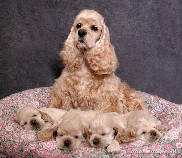 My love of American Cocker Spaniel dogs.