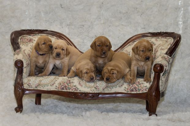 Balsam Branch Kennel Fox Red Labs Puppies For Sale Wrinkle