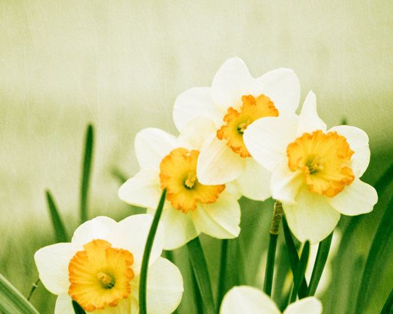 """Daffodil Photography - green yellow decor - white flower photography - nature floral wall art print - 8x10 Photograph, """"A Fresh Start"""". $30.00, via Etsy."""