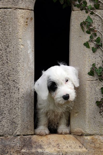 Sealyham Terrier Puppy.  The Sealyham Terrier is a rare Welsh breed of small to medium-sized terrier that originated i...