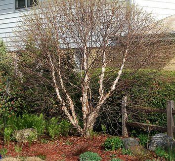 Betula nigra 'Little King' River Birch.  A compact shrubby variety that will get to 10-12' high and about as wide. Put it where you can see it in the winter as its pealing bark gives texture to the colorful bark of cream and peach. Give plenty of moisture until established. A great addition to our choices.  #MustHave