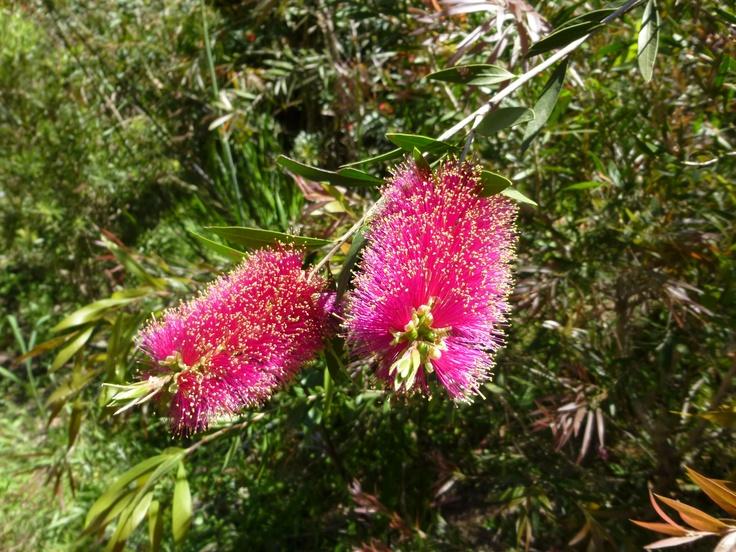 Callistemon - Bottlebrush.  Native to Australia