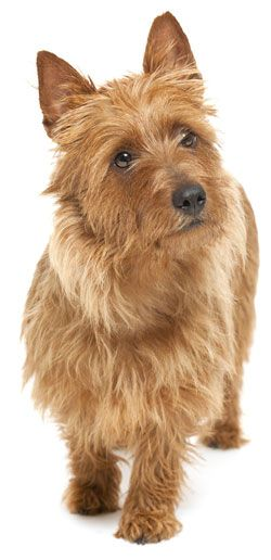 Australian Terrier low shedding and low energy however will chase after small animals such as cats and lizards.