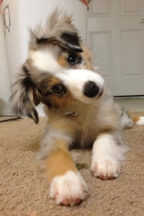 Australian Shepherd puppy tilt!