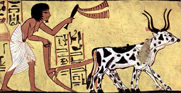 Plough being used in ancient Egypt . Livestock domestication was an essential part of man 's change from the hunter gatherer role   .