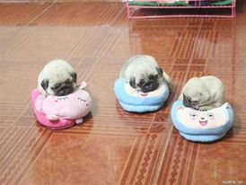 Cuteness overload- Pug puppies!! I want them all! #cuties #dogs #pets #puppies #pugs #headsupfortails #huft