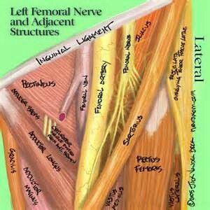 oltre 10 fantastiche idee su femoral nerve su pinterest | anatomia, Muscles