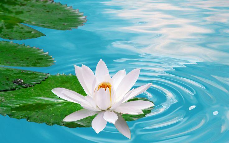 NİLÜFER çiçeği