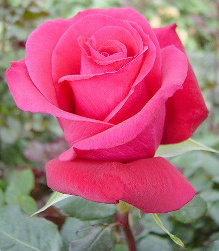 ROSE HOT PINK