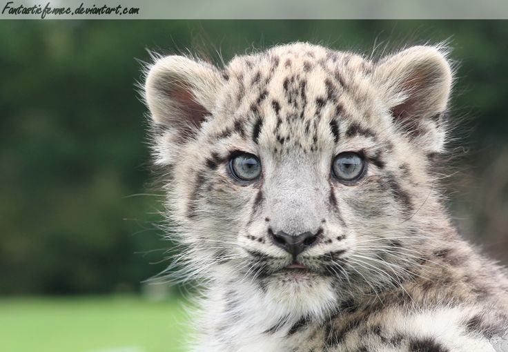 Snow Leopard Cubs | wild cat snow leopard a young leopard ...