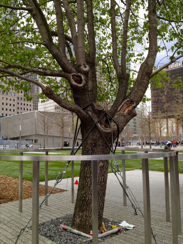The only surviving tree in the 9/11 attack, they saved it
