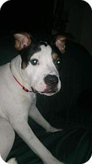 Pictures of Katina a Boxer/Pit Bull Terrier Mix for adoption in New York, NY who needs a loving home.