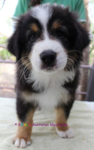 DogzOnline: Australian Shepherd Puppies for Sale, Australia