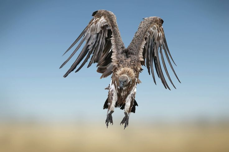 White-backed vulture landing in Kenya. In 2012 they were further uplisted to Endangered. (Andre Marais)