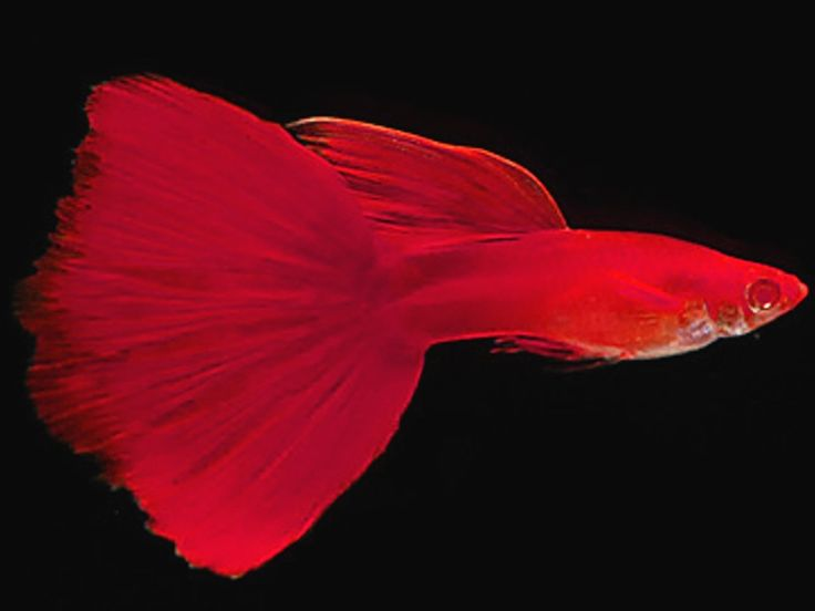 ❤❤❤ Copyrights unknown. Red Albino Guppy Fish.
