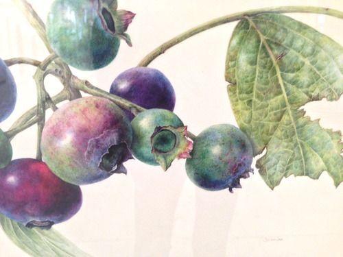 "Connie Scanlon  Blueberries Vaccinium corymbosum Watercolor on vellum 9.5"" x 12"" 2013"