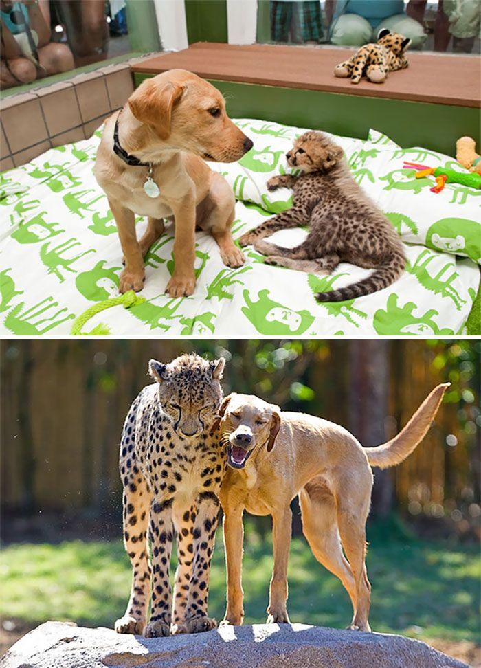 Kasi el chita/guepardo y Mtani el perro labrador - Fotos antes y después de animales creciendo juntos