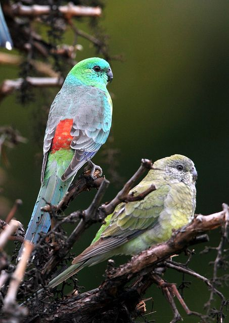 Red-rumped Parrot pair by Enchylaena, via Flickr