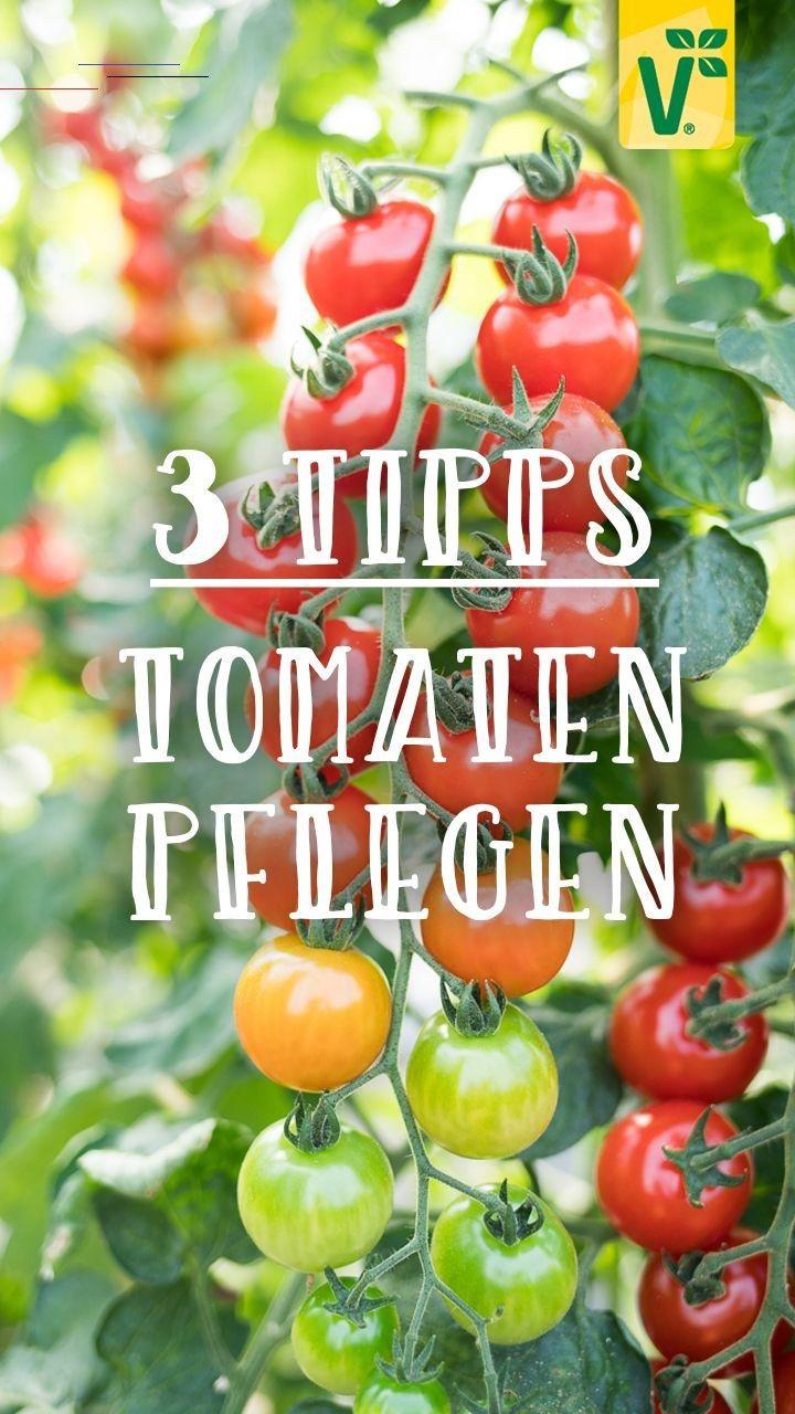 Tomaten Pflegen 3 Tipps Fur Eine Reiche Ernte Tomatenpflanzen Kleine Saftig Susse Cherrytomaten Vollmundige Rote Fleischtomaten Oder Ungewohnlich Ausse In 2020