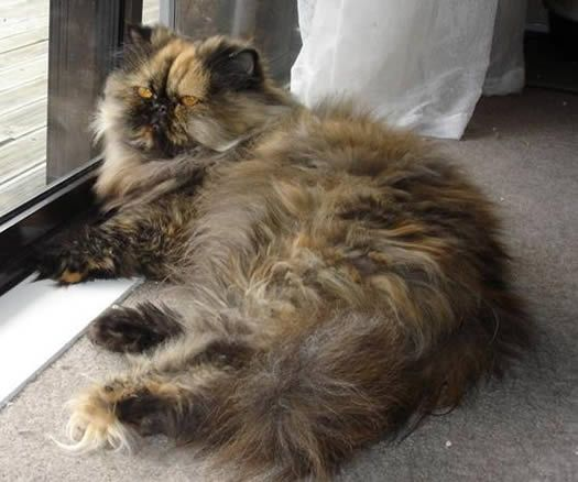 Persian Cat Year Old Tortoiseshell Desexed Female