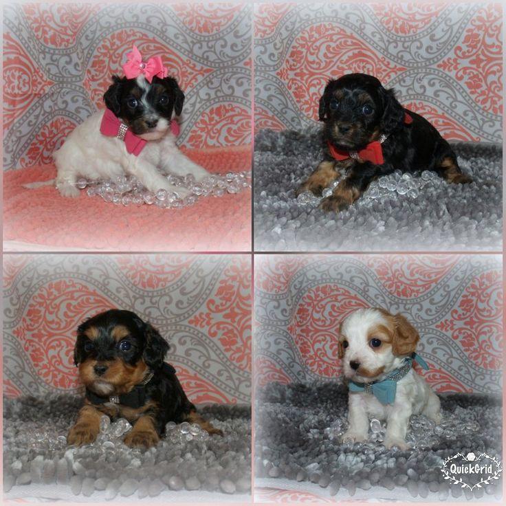 Cavapoo pups for sale in Northeast Alabama. Brown