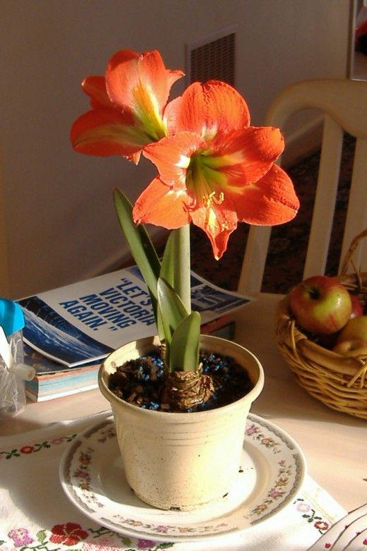 Маленький секрет гиппеаструма.  Одно из моих любимейших комнатных растений — гиппеаструм. Обычно он цветет весной, в апреле-мае, но при хорошем уходе может порадовать вас и в августе. Фото: © Joey Martoni