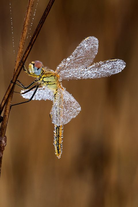 Fantastic photograph from Claudio Pia of a dragonfly covered in dew