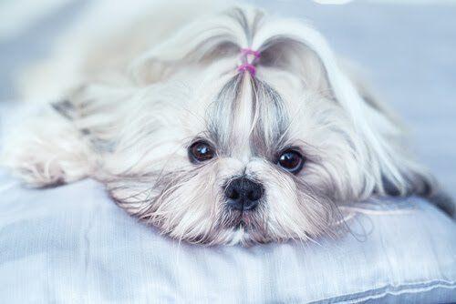 Seguramente alguna vez te has preguntado por qué tu perro tiembla. En este artículo te contamos los diferentes motivos y cómo actuar cuando esto ocurre.