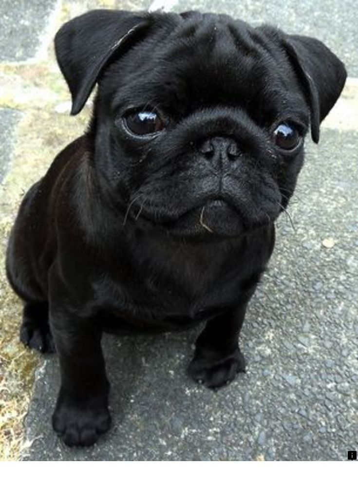 Discover More About Cheap Pugs For Sale Near Me Please Click Here