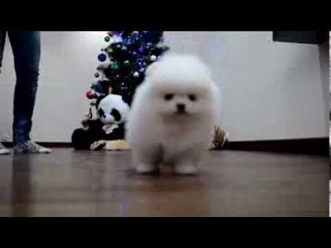 White puppy Pomeranian. www.elitdog.com Белый щенок померанского шпица. - YouTube