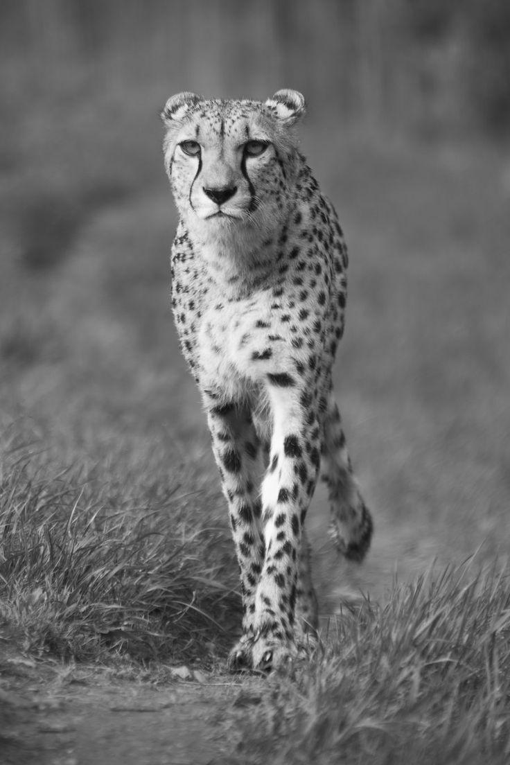 Cheetah :3 by GW-Photography.deviantart.com on @deviantART