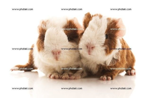 http://www.photaki.com/picture-baby-guinea-pig_1328031.htm
