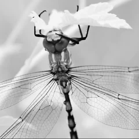 dragonfly (near infrared) - from brindabellas | part two | autumn - see http://silverdory.com for more from this film #brindabellas #film