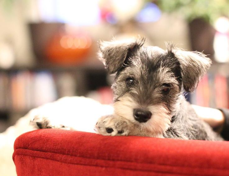 Throwback to my first week home. I was still unsure of these new humans but after a couple weeks of getting snacks from them I decided they weren't bad at all.  #throwbackthursday #tbt #adorable #firstweekhome #puppiesofinstagram #puppies #youngjimbob #jimbob_schnauzer #schnauzersofinstagram #schnauzer #minischnauzer #miniatureschnauzer #dogsofinstagram #dogsofig #dogsofinsta #lifeofadog #dogoftheday #doggo #puppers #yeg_dogs #yegdogs