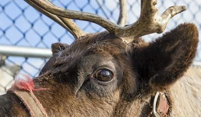 Mobile Web - News - Check out the reindeer cam at St. Paul's Como Zoo