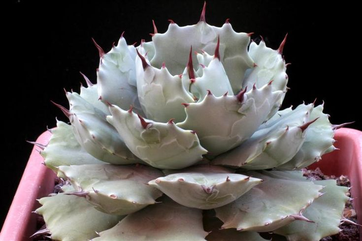 agave isthmensis